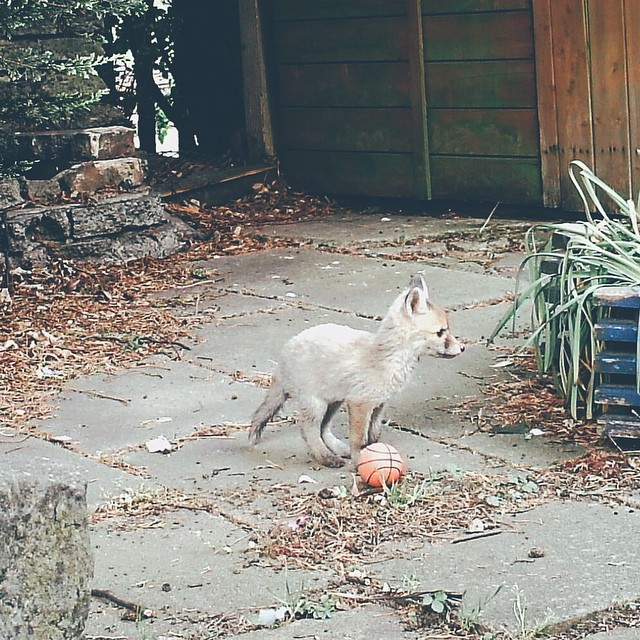 A tiny 50p basketball and the tiny fox who loves it #vscocam
